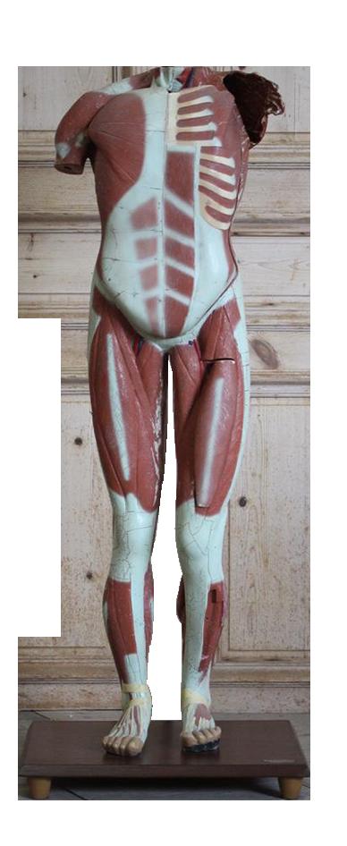 Mid C20th Spanish Anatomical Model